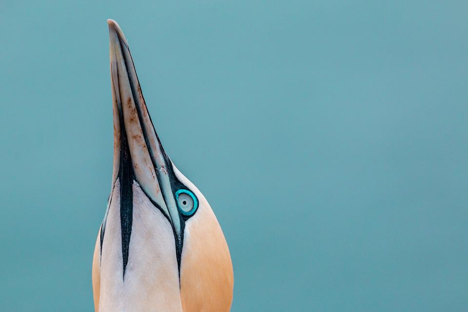 Bird, Head, Portrait, Northern Gannet, Boobies