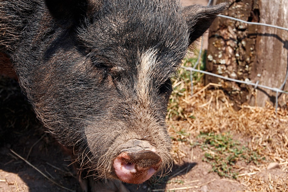 Pig, Black, Animal World, Close Up, Head, Snout