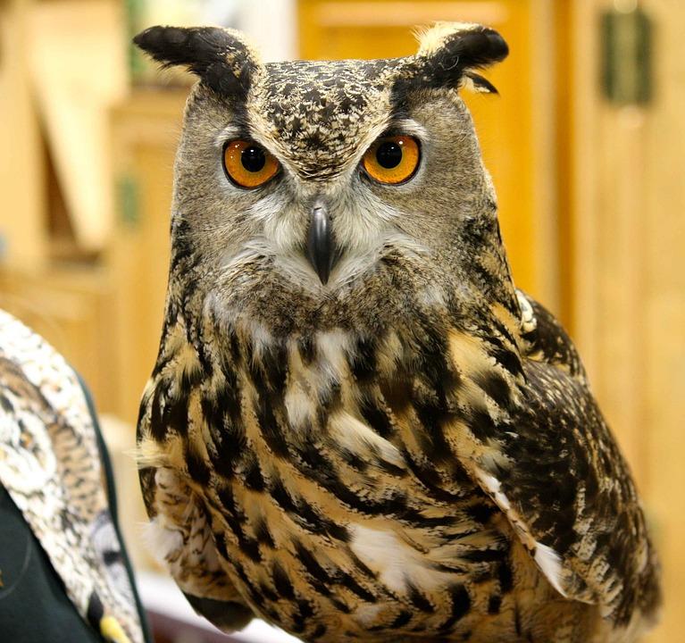 Virginianus, Bubo, Head, Bird, Horned, Great, Owl