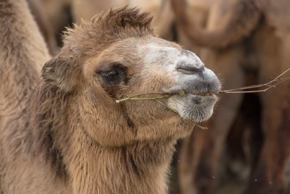 Camel, Chew, Eat, Bump, Nature, Head, Mammals, Animal