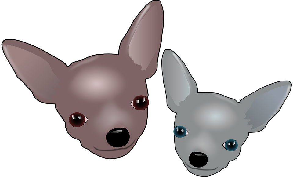 Head, Gray, Brown, Two, Pets, Dogs, Chihuahuas, Puppy