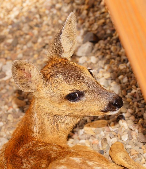 Fawn, Young, Small, Sweet, Head, Roe Deer, Cute, Bambi