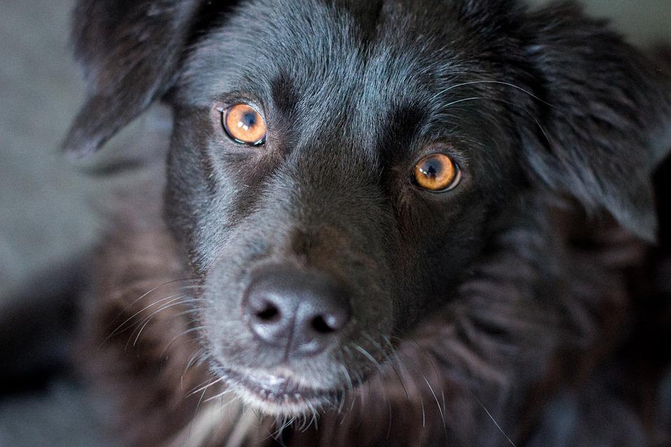 Dog, Puppy, Black, Yellow Eyes, Head, Pet, Labrador