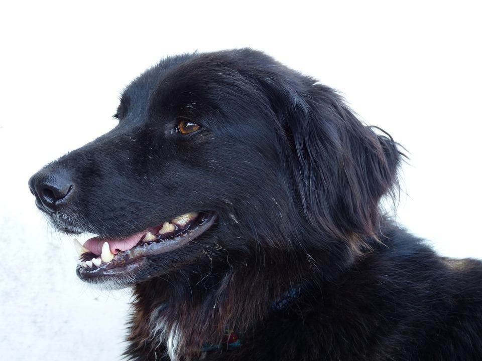 Dog, Dogs, Black, Bitch, Head, Sweet, Smile, Brown Eyes
