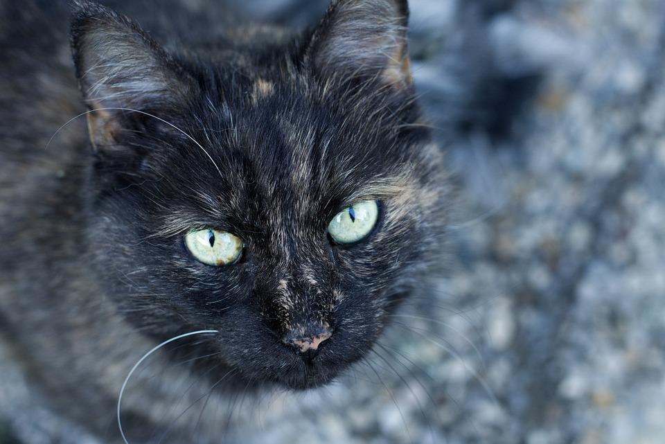 Cat, Portrait, Eyes, Face, Head, Domestic Cat, Pet