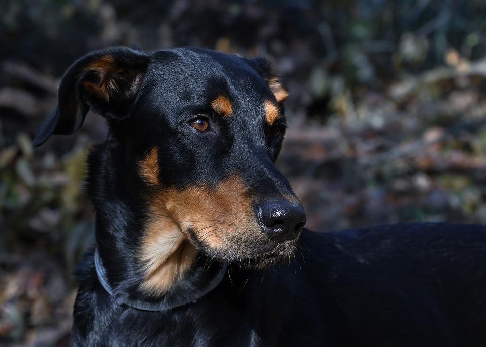 Dog, Beauceron, Canine, Carnivore, Pet, Domestic, Head