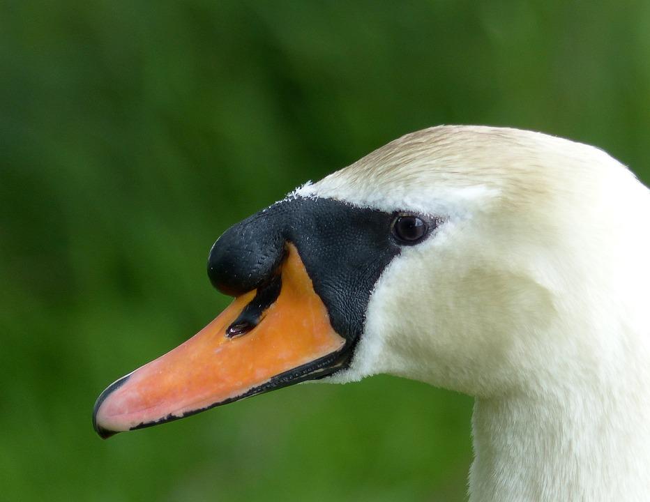 Swan, Bird, Elegance, Nature, White, Cygnus, Head, Beak