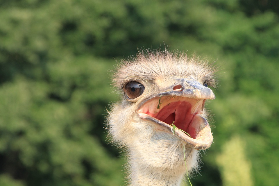 Beak, Close-up, Eyes, Head, Ostrich, Warming, Birds