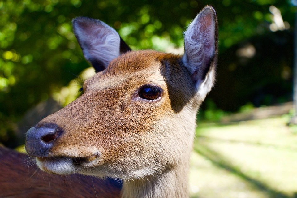 Nature, Animals, Hirsch, Fallow Deer, Head