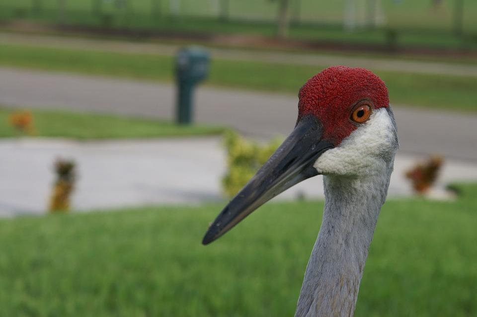 Sandhill Crane, Crane, Bird, Grus, Avian, Fauna, Head