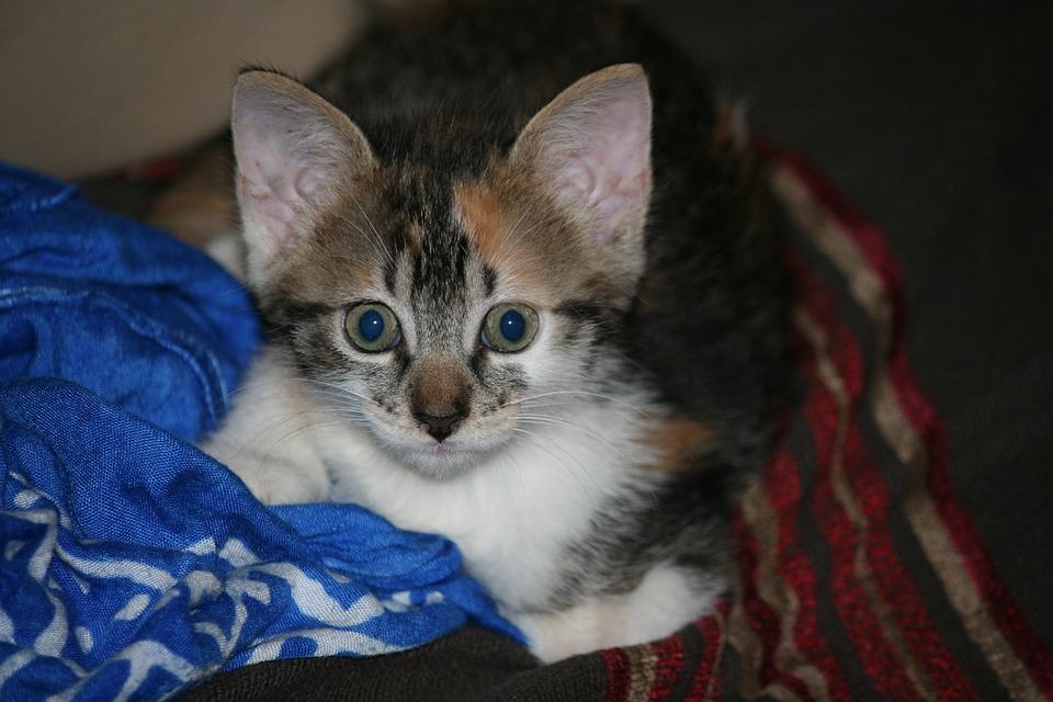 Kitten, Grey, Head