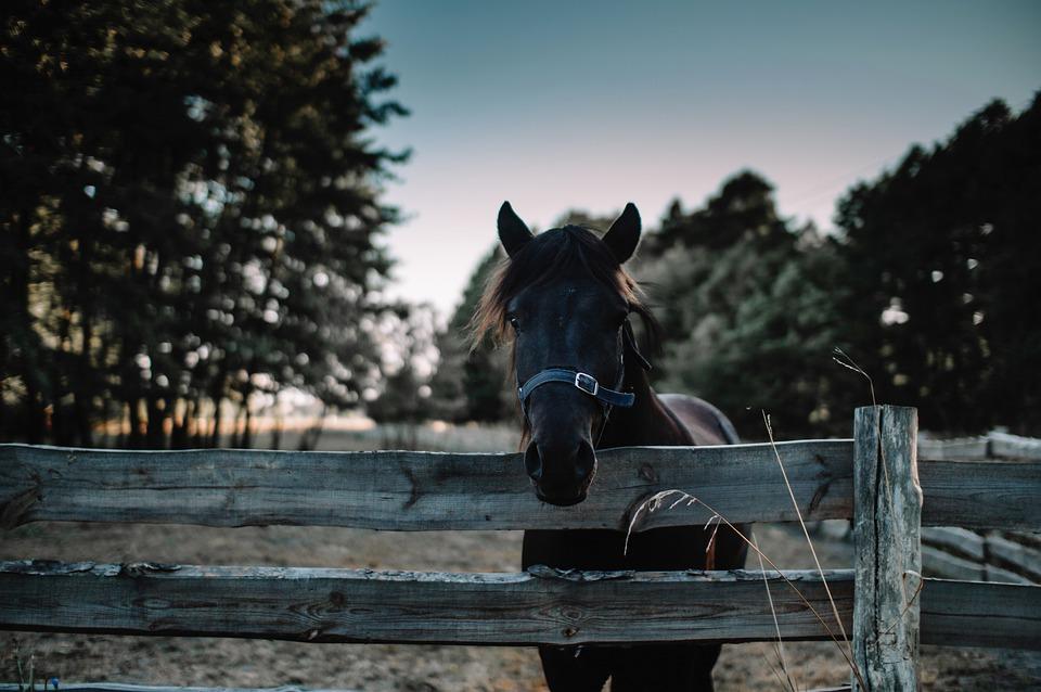 Horse, Animal, Equine, Head, Equestrian, Farm