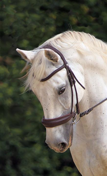 Horse, White, Head, Horse Head, White Horse, Bridle
