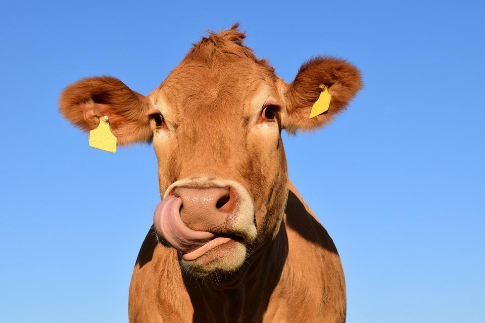 Cow, Head, Cow Head, Animal, Livestock, Nature