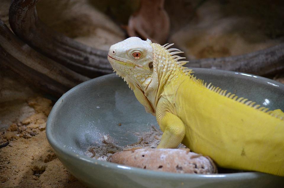 Free Photo Head Lizard Terrarium Close Reptile Animal Max Pixel