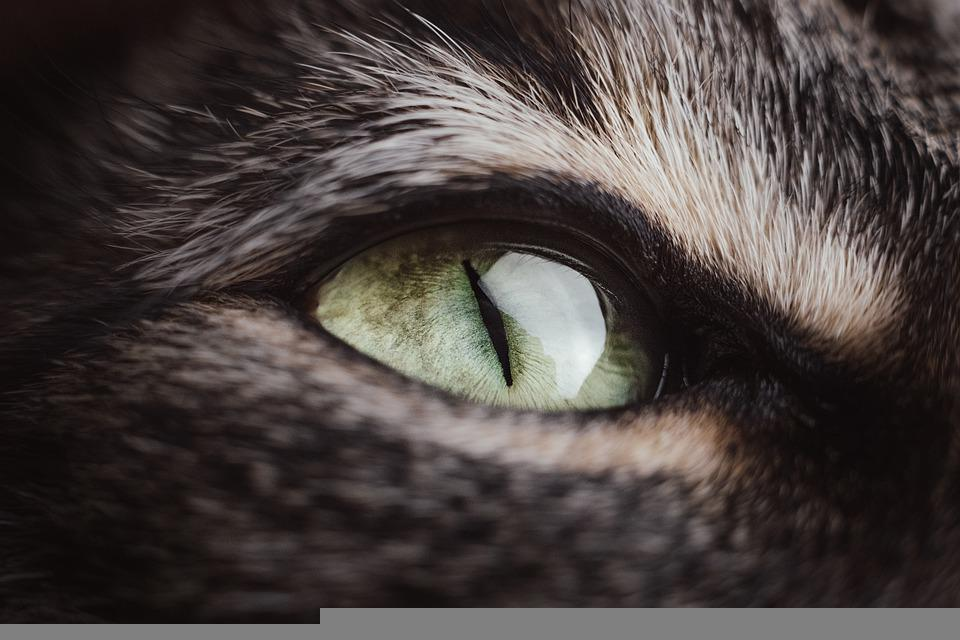 Cat, Animal, Eye, Head, Pet, Feline, Macro, Closeup