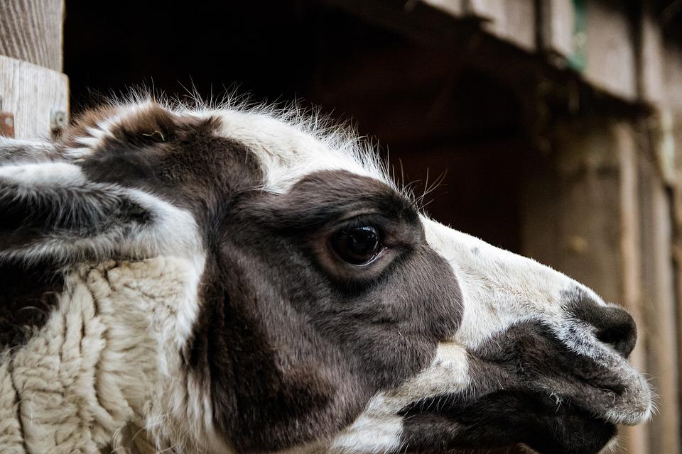 Lama, Mammal, Animal, Animal World, Head, Creature