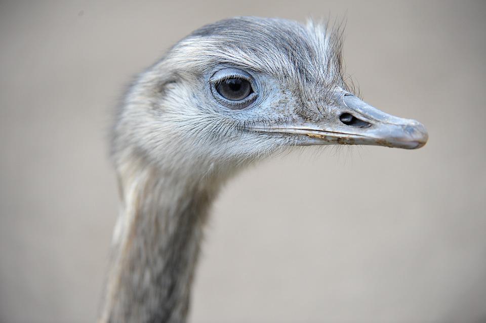 Ostrich, Zoo, Animal, Bird, Head, Nature, Emu, Eyes