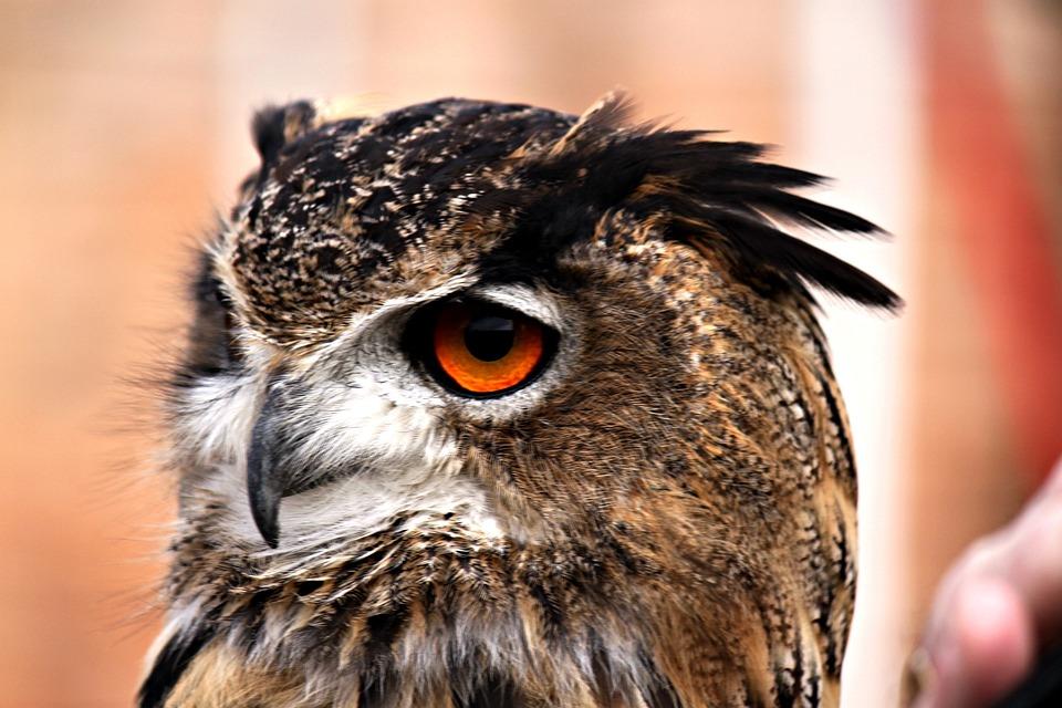 Owl, Feather, Bird, Head, Close, Predator, Eye