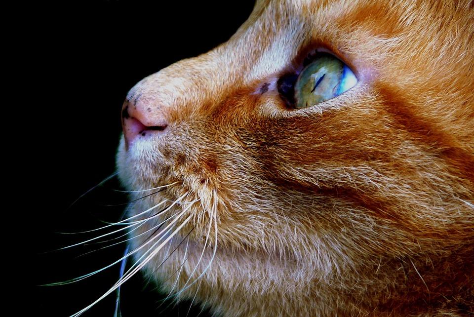 Cat, Pet, Animal, Domestic Cat, Cat Face, Head