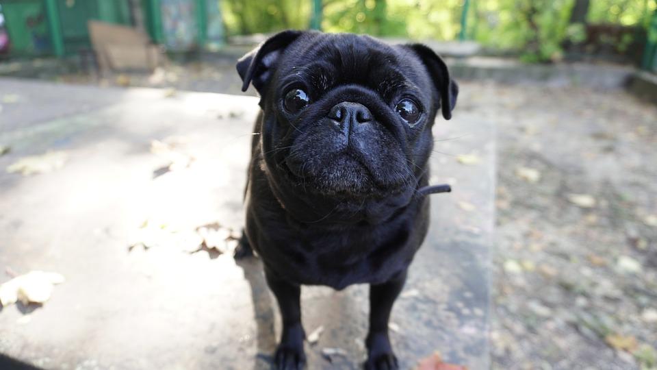 Dog, Portrait, Eyes, Head, Cute, Pet, Pets, Pug, Each