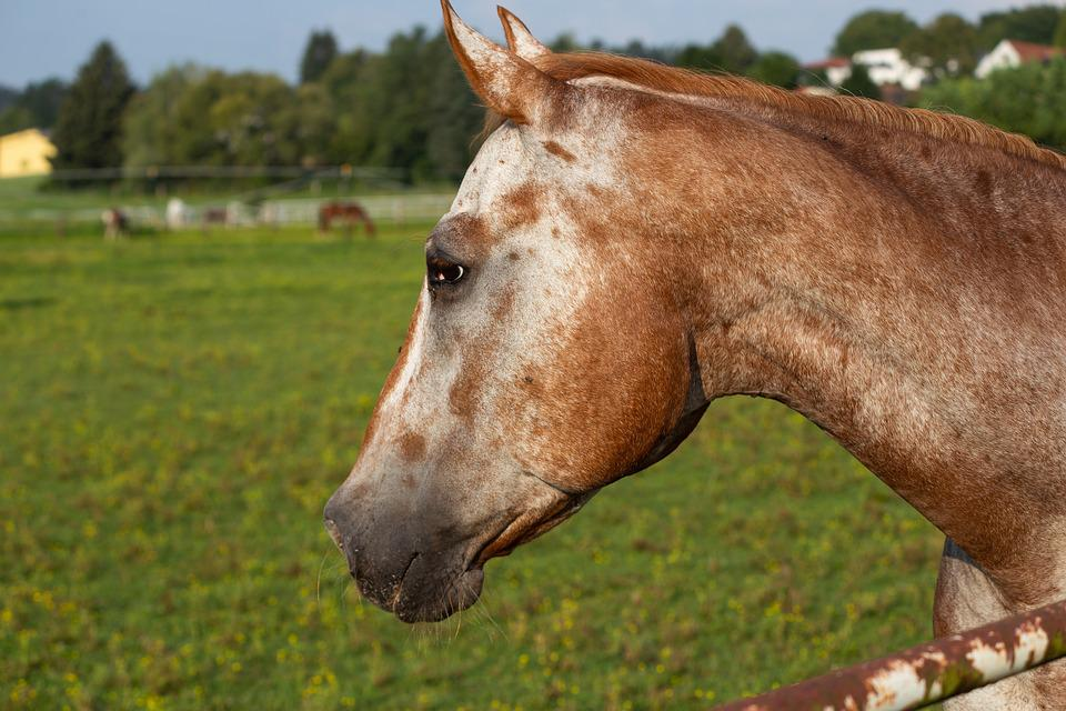 Horse, Head, Horses, Animal, Mane, Stallion, Portrait