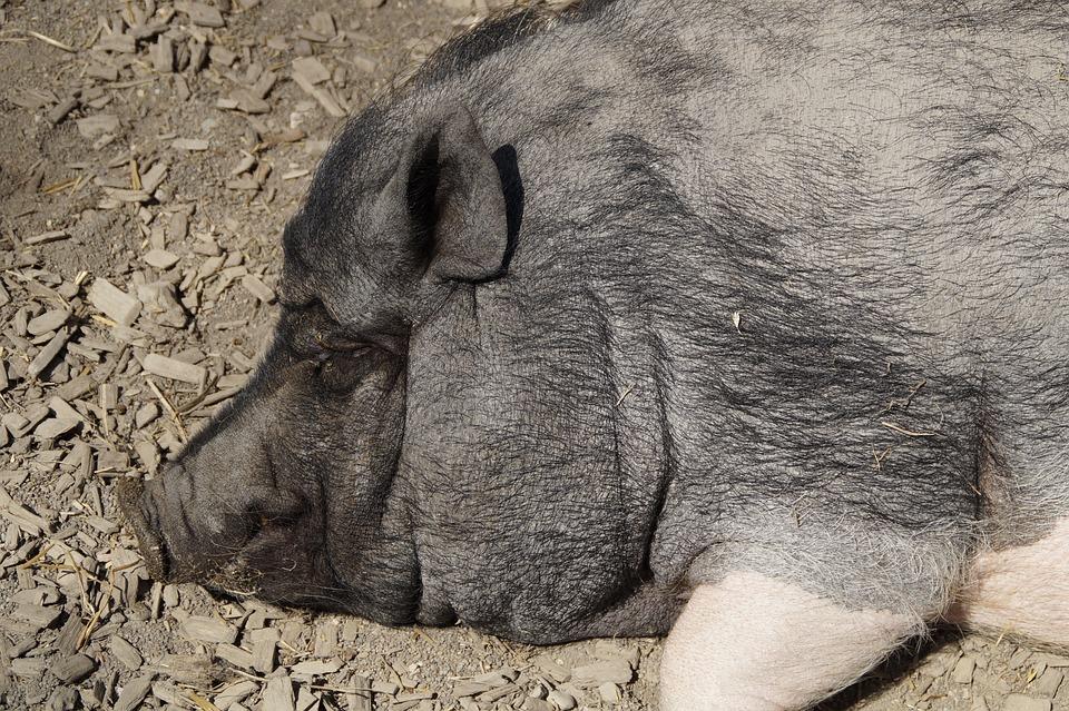 Head, Pig, Miniature Pig, Piglet, Pot Bellied Pig, Farm