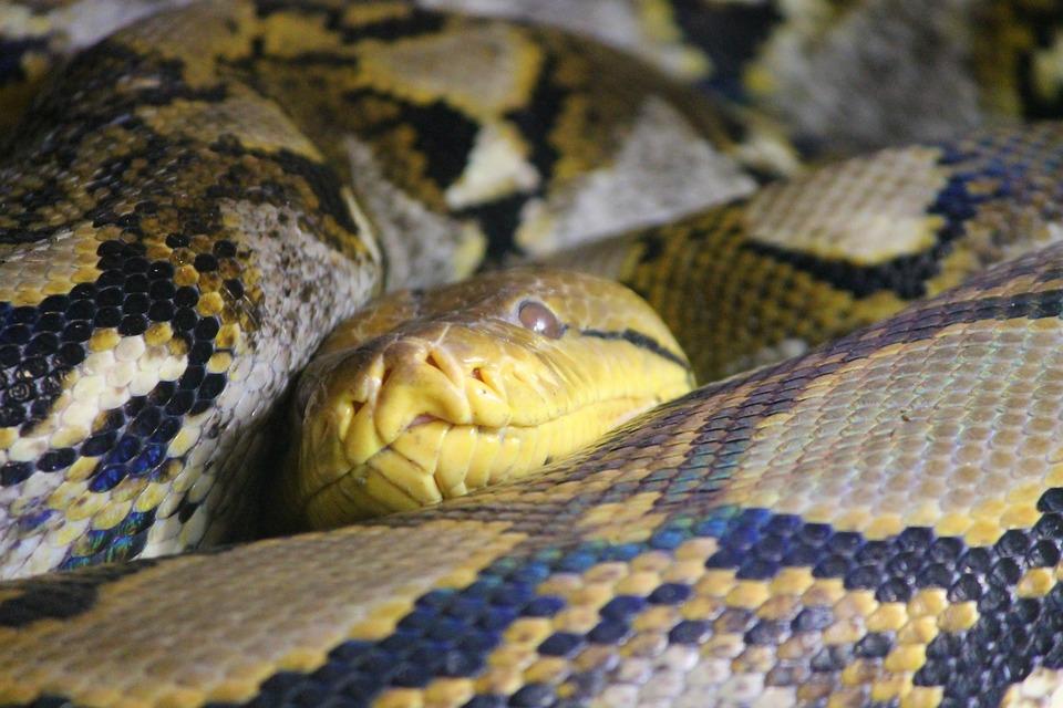 Snake Skin, Python, Net Python, Snake, Head, Snakehead