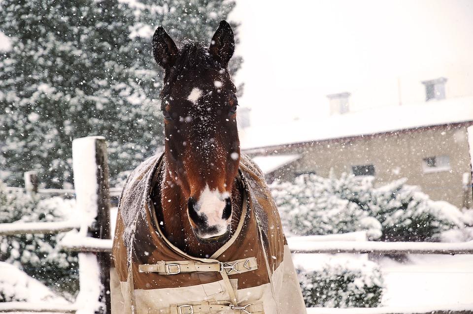 Horse, Head, Portrait, Bay, Winter, Snow, Range, Pen