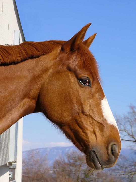 Horse, Head, Portrait, Sun, Animal