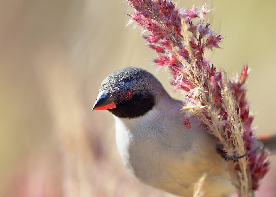 Swee Waxbill, Portrait, Head, Bird, Avian, Eye, Animal