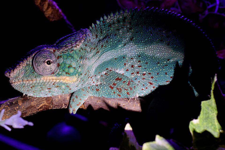 Panther Chameleon, Chameleon, Tired, Head, Close Up