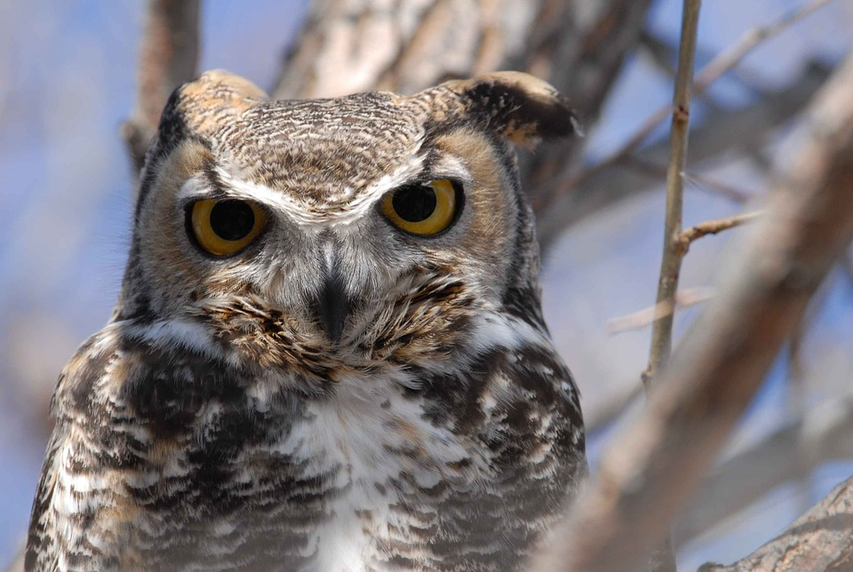Virginianus, Bubo, Bird, Head, Close-up, Horned, Great