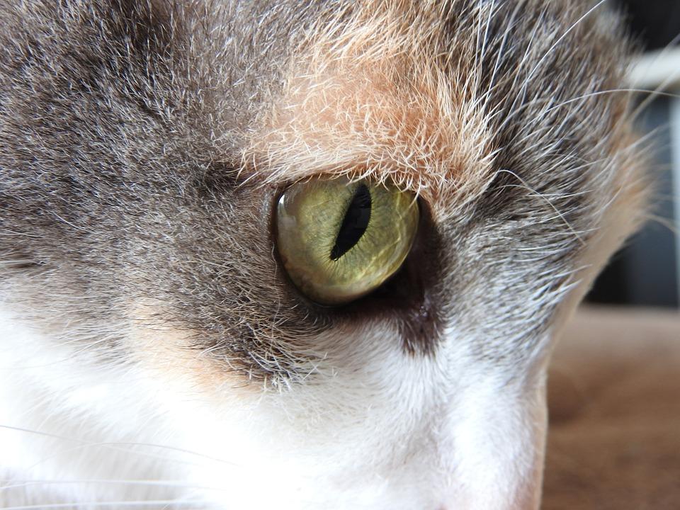 Cat, Eye, Iris, Head, White, Gray