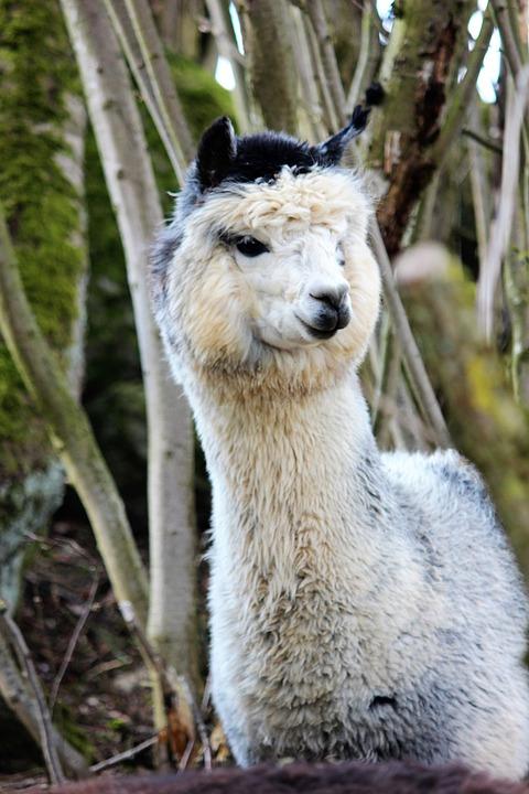 Alpaca, White, Black, Wool, Mammal, Cute, Head, Fur