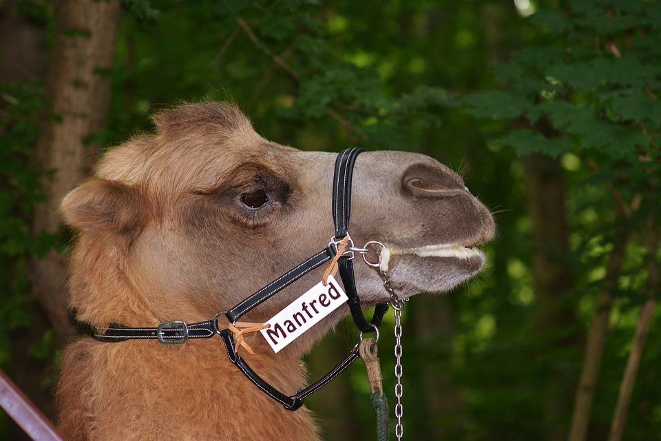 Zoo, Camel, Head, Close Up
