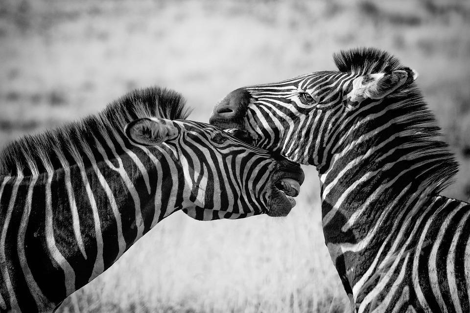 Zebras, Pair, Equines, Stripes, Striped, Heads