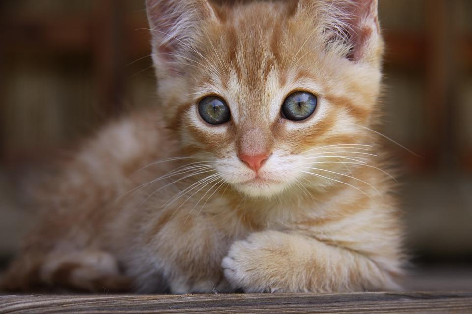 Cat, Lying, Blue Eye, Small, Ginger Fur, Heal, Pet
