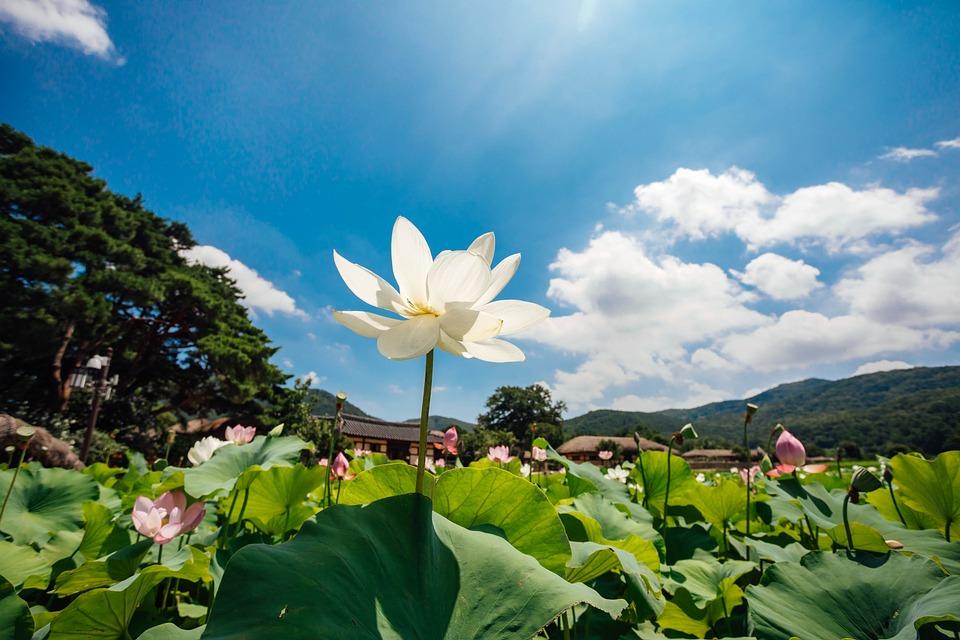 Lotus, Sky, Nature, Flowers, Cloud, Healing