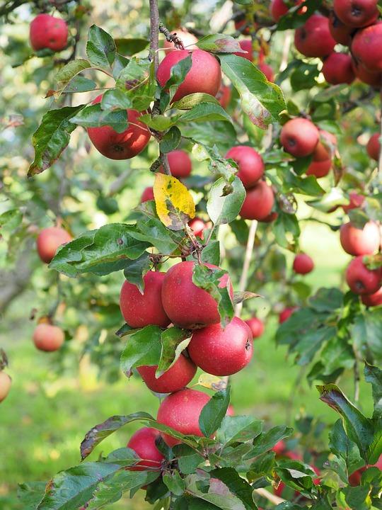 Apple, Apple Tree, Fruit, Red, Frisch, Healthy