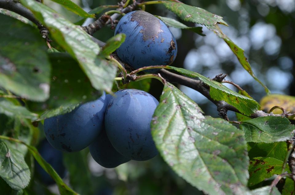 Fruit, Plums, Branch, Violet, Purple, Blue, Healthy