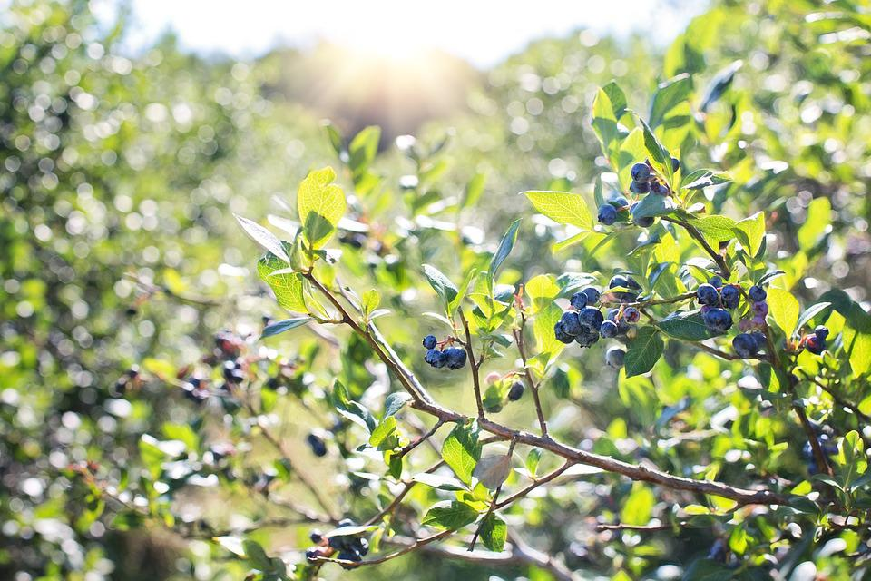 Blueberries, Bush, Nature, Blueberry, Berry, Healthy