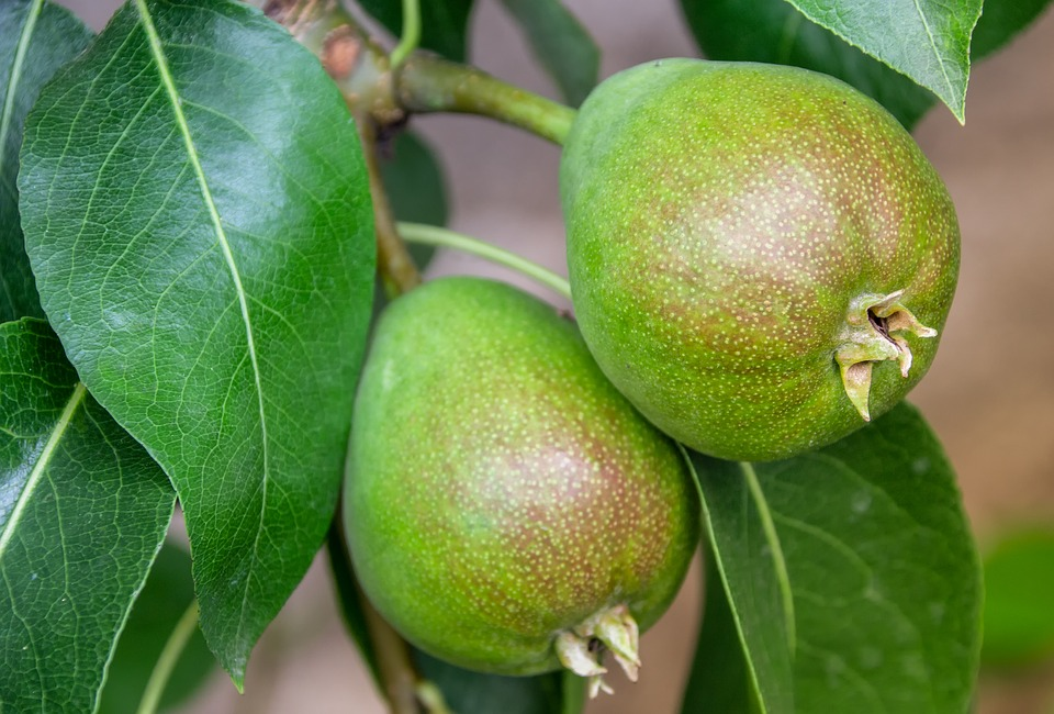 Pear, Pair, Fruit, Fruit Tree, Food, Eat, Healthy