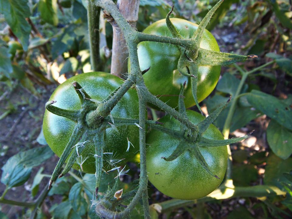 Tomatoes, Orchard, Vegetables, Food, Mature, Healthy