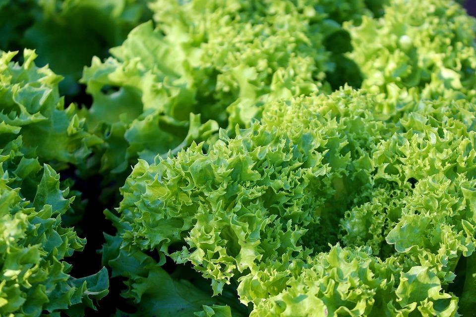 Lettuce, Leaves, Salad, Green, Healthy, Fresh
