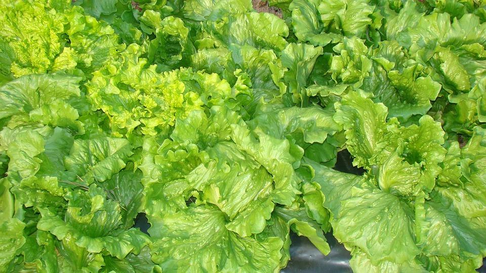 Lettuce, Food, Horta, Nature, Green, Healthy, Plants