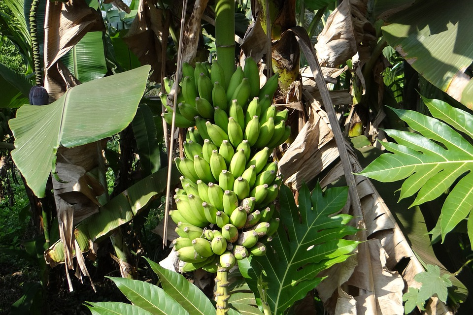 Banana, Bunch, India, Fruit, Juicy, Food, Ripe, Healthy