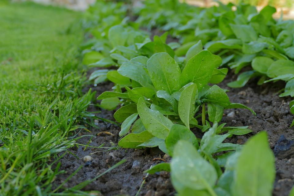 Spinach, Soil, Ground, Vegetables, Healthy, Lawn