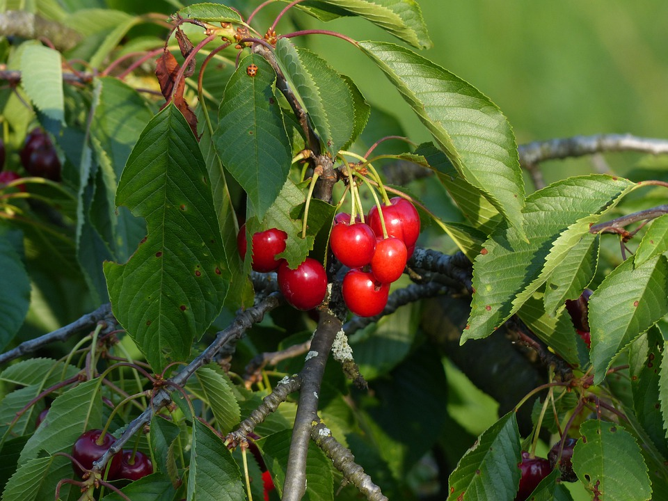 Cherry, Sweet Cherry, Red, Fruit, Healthy, Leaves