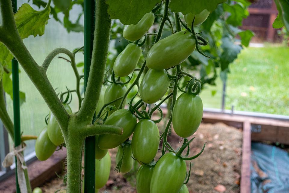 Tomatoes, Green Tomatoes, Food, Fruits, Unripe, Healthy